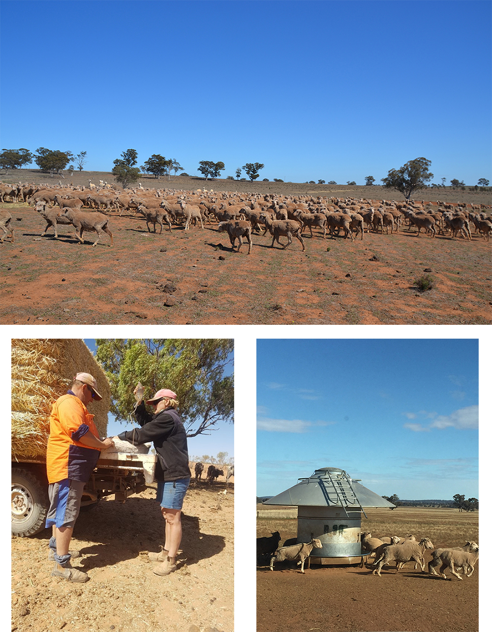Three images of drought: a mob of sheep in a very dry paddock, two men with a ute full of hap, a sheep feeding station.